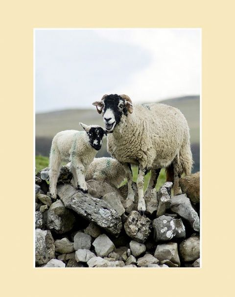 Over the Wall Swaledale Sheep Portrait Print